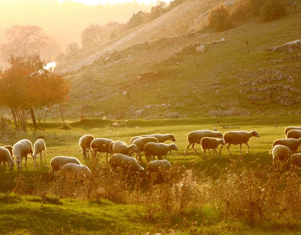 Sheep011 (1)