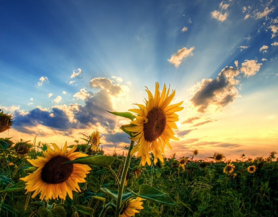 sunflower-hd-wallpaper_110757167_53